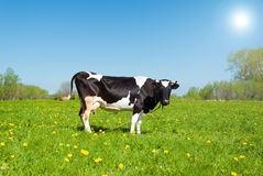 Cows in pasture Stock Photo