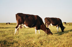 Cows in pasture. Cows in a pasture with blue sky at the background stock image