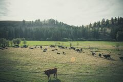 Cows on pasture Royalty Free Stock Images