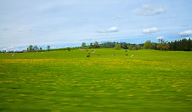 Cows pasture abstract Nature Background Royalty Free Stock Photo