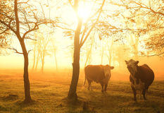 Cows on pasture. Amazing morning lights Stock Images