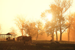 Cows on pasture. Amazing morning lights Royalty Free Stock Images