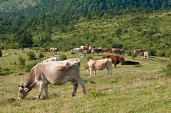 Cows at pasture. In the apeninnes of tuscany Stock Photography