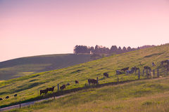 Cows in pasture, Australia Royalty Free Stock Photos