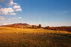 Cows on pasture in autumn Royalty Free Stock Photography