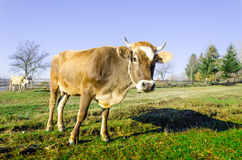 Cows on pasture in the autumn, blue mountains and old fences in. The fog in the background Royalty Free Stock Photography