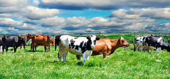 Cows on a pasture. On a background cloudy sky Stock Photo