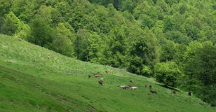 Cows on pasture. Green grass background. Summer landscape Stock Photos