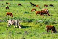 Cows on a pasture Stock Photo