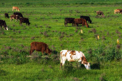 Cows on a pasture Stock Photography