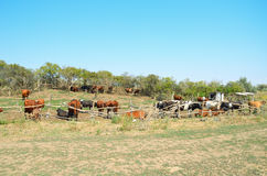 2 Cows in the pasture corral. Cows in the pasture corral. Fencing, trees, grass, a herd of cattle. Summer, blue sky, rural landscape Stock Photography