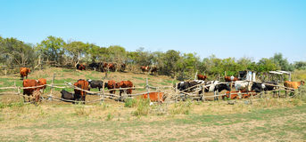 Cows in the pasture corral. Fencing, trees, a herd of cattle. Summer, blue sky, rural landscape Stock Photos