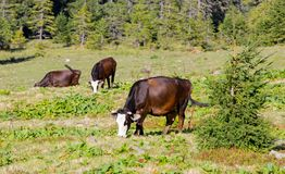 Cows on pasture Stock Image