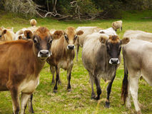 Cows on pasture. Dairy cows in green grassy pasture, farm. New Zealand Stock Photo