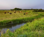 Cattle at green pasture stock photos