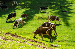 Cows on a pasture. Cows eating grass on a pasture in the sunlight Royalty Free Stock Photos