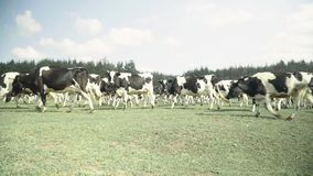 Cows on a pasture farm