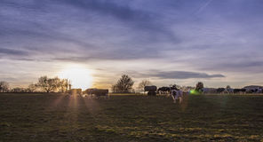 Cows Pasture Farmland at sunset Royalty Free Stock Photos
