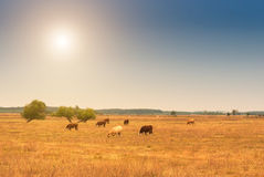 Cows on pasture. Few cows on summer pasture Royalty Free Stock Image