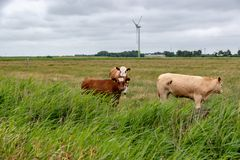 Cows on a pasture in Germany stock photo