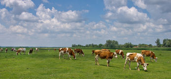 Cows on pasture. Cows graze in a broad pasture Royalty Free Stock Photos