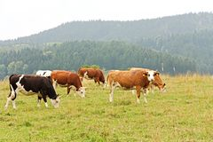 Cows on pasture Stock Photography