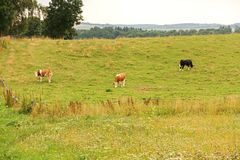 Cows on pasture Royalty Free Stock Photography