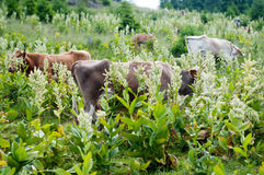 Cows at pasture Royalty Free Stock Photography
