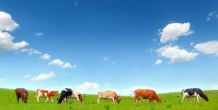 Cows at pasture. Cows at a green summer pasture stock images