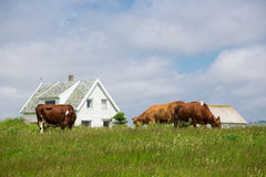 Cows on a pasture Stock Photos
