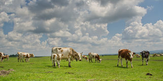 Cows on pasture. Cows and heifers graze in a broad pasture Royalty Free Stock Photography