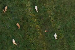 Cows on pasture Royalty Free Stock Photos