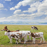 Cows in pasture Stock Images