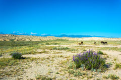 The cows in the pasture, Kyrgyzstan. Beautiful mountain landscape with cows in summer sunny day, Kyrgyzstan Royalty Free Stock Photos