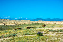 The cows in the pasture, Kyrgyzstan. Beautiful mountain landscape with cows in summer sunny day, Kyrgyzstan Royalty Free Stock Photography