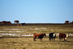 Cows on pasture land Stock Photos