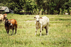 Cows on pasture land Stock Images