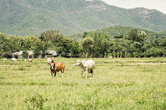 Cows on pasture land Stock Image