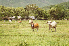 Cows on pasture land Royalty Free Stock Images