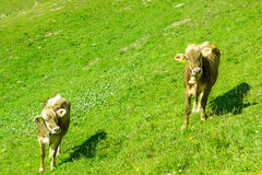 Cows at pasture Stock Image
