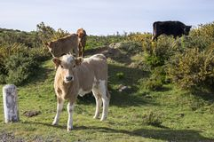Cows on pasture on Madeira island royalty free stock photography
