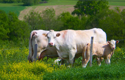 Cows on pasture Stock Images