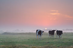 Cows on pasture at misty sunrise Stock Images