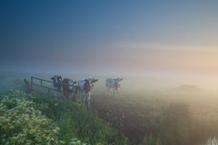 Cows on pasture at misty sunrise Royalty Free Stock Photo