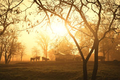 Cows on pasture. Morning lights Stock Images