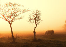 Cows on pasture. Morning lights Stock Image