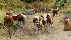 Cows on pasture in mountains. Herd of cows grazing in high mountains stock video footage