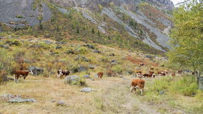 Cows on pasture in mountains. Herd of cows grazing in high mountains stock video