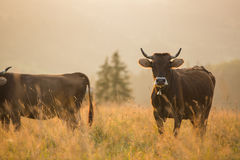 Cows in a pasture in the mountains just before sunset. Brown cows in a pasture in the mountains just before sunset Royalty Free Stock Photos