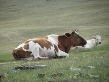 Cows on pasture. Near the coast of lake Baikal on a summer day. Lake Baikal is the largest freshwater lake by volume in the world Stock Photography